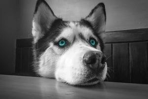 husky traurig