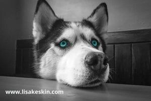 husky schaut traurig